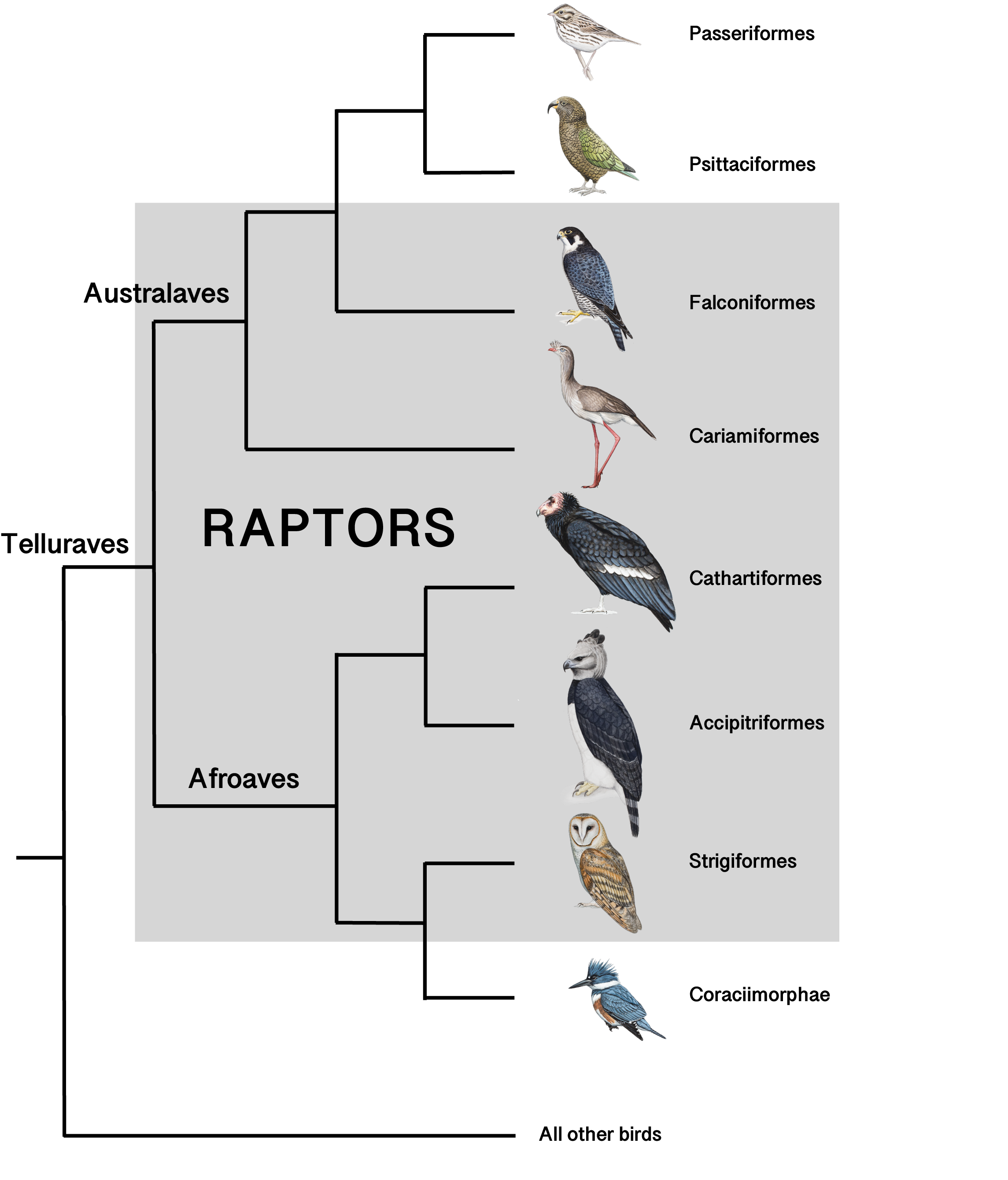 A Cladogram shows which groups of birds of prey evolved from which ancestors.