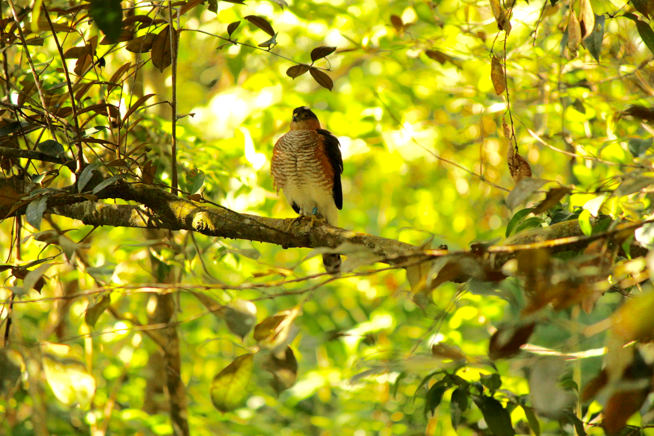 "Puerto Rican Sharp-shinned Hawk, ""2/Z"", perched calmly near her nest tree."