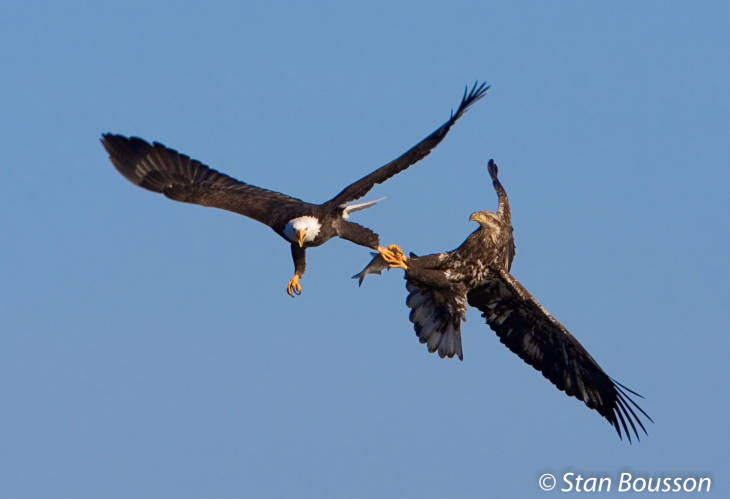 An adult bald eagle steals fish from a juvenile