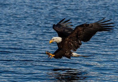 A Bald Eagle fishing
