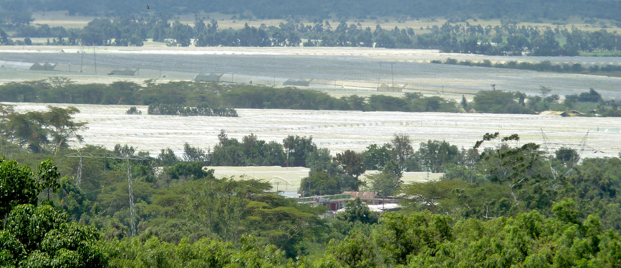 Greenhouses are spread across the landscape in Kenya