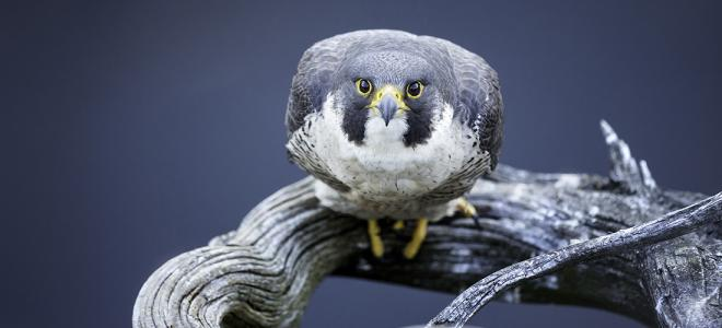 Peregrine Falcon perched on driftwood