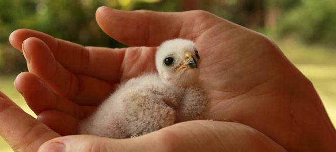 Puerto Rican Sharp-shinned Hawk nestling cupped in biologist's hand