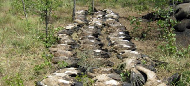 Rows of dead White-backed Vultures that were poisoned at an elephant carcass