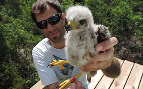 biologist Thomas Hayes holds a banded Ridgway's Hawk nestling