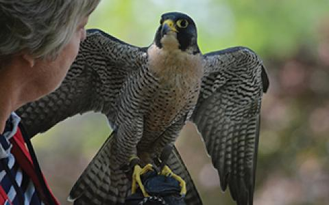 woman and peregrine make eye contact