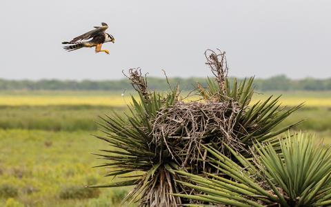 Aplomado Falcon lands in a wild nest in a yucca