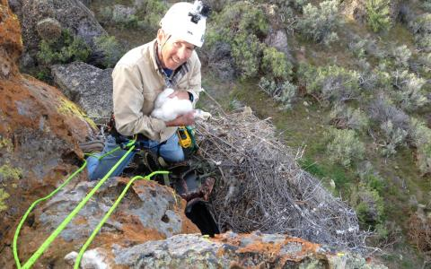 Biologist Dr. David Anderson rappels down a cliff in Alaska with a Gyrfalcon nestling.