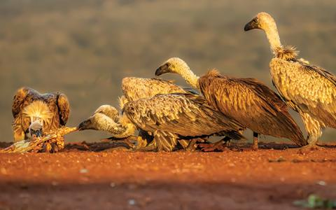 African White-backed vultures at a carcass