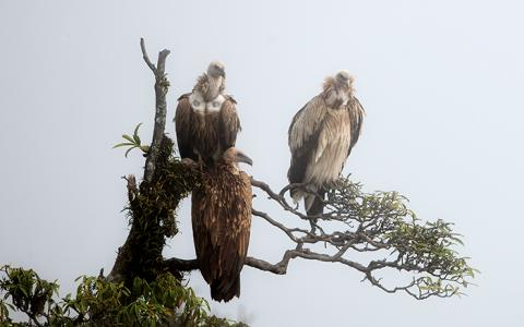 three Asian vultures perch in a tree