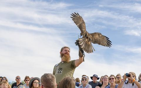 A Red-tailed Hawk lands on a trainer's glove in the audience