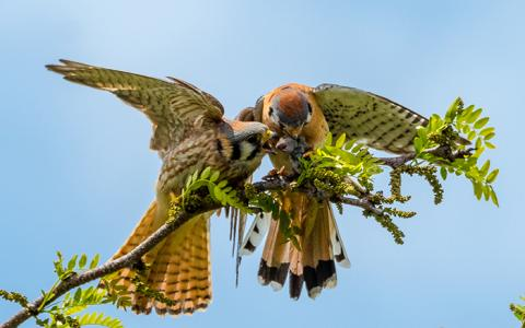 a male kestrel delivers a mouse to a female kestrel