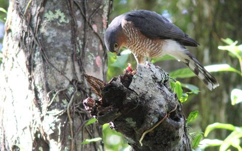 Adult Puerto Rican Sharp-shinned Hawk perches with food on a branch