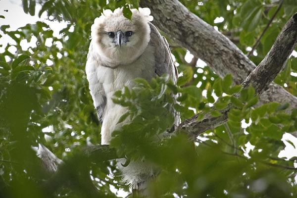Young harpy eagle peers out from the rain forest canopy in Panama