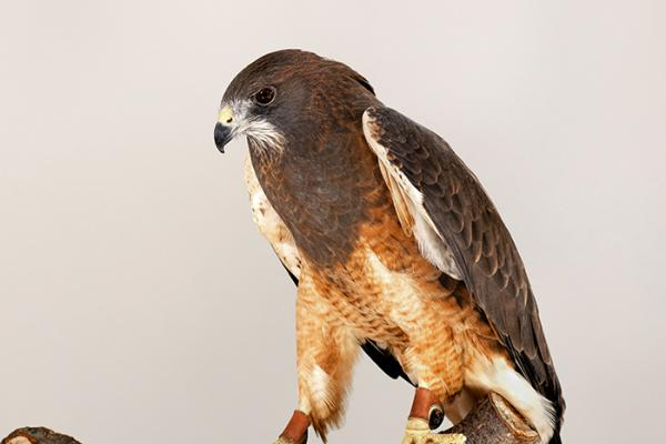 Griffin the Swainson's Hawk