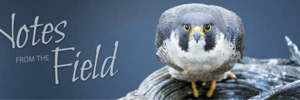 Notes from the Field and peregrine falcon photo