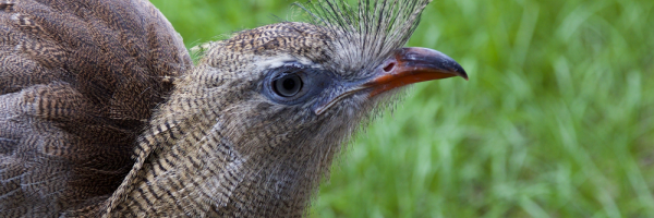 A close up photo of a Red-legged Seriema shows their feather crest just above their beak