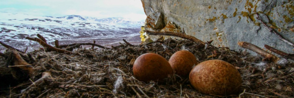 Three mottled brown Gyrfalcon eggs rest on a nest on a cliff overlooking snowy Alaskan terrain