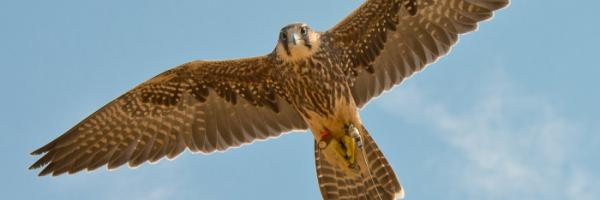 Lanner Falcon with wings spread flying overhead