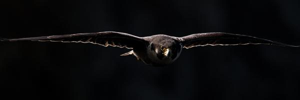 peregrine falcon flies out of the dark