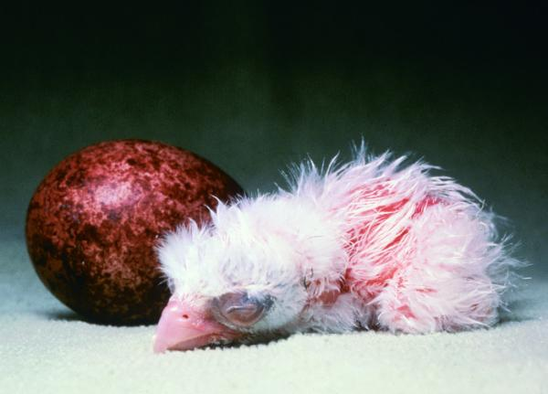 A newly-hatched chick sleeps next to an egg