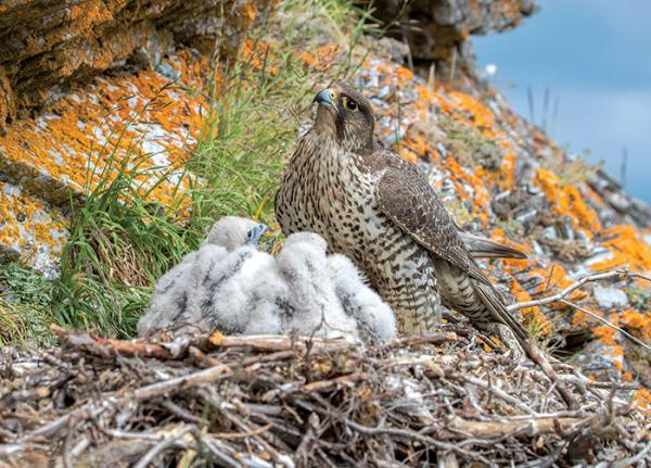 An adult gyrfalcon feeds nestlings