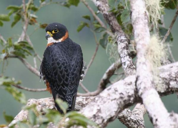 Orange-breasted falcon perched in a tree