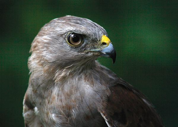 portrait of an adult Ridgways Hawk