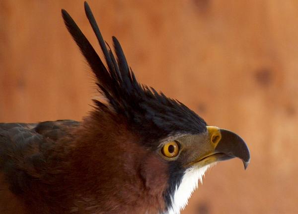Ornate Hawk Eagle The Peregrine Fund