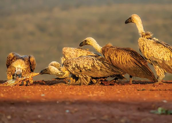 African White-backed Vultures feeding