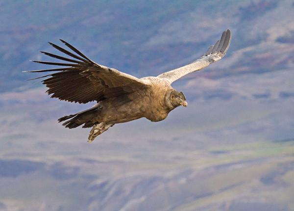 Andean Condor flying