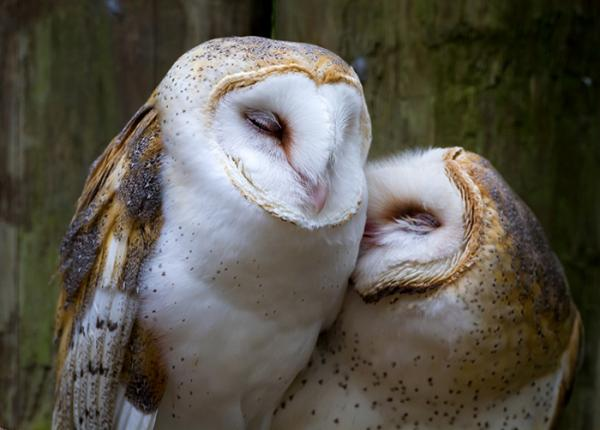 Barn Owl pair perched