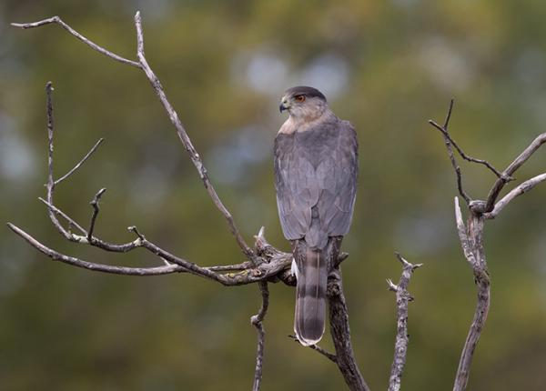 Coopers Hawk perched