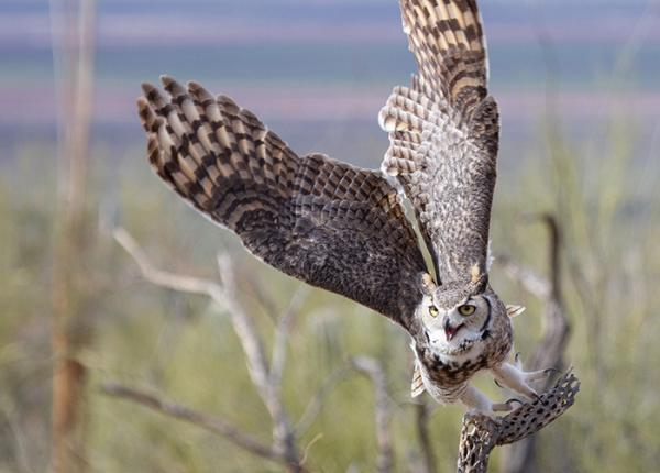 Great Horned Owl leaving perch