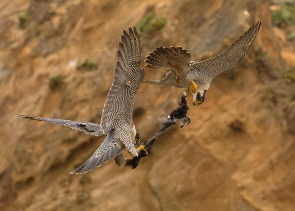 Peregrine Falcon juveniles playing