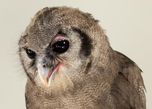 Verreaux S Eagle Owl The Peregrine Fund