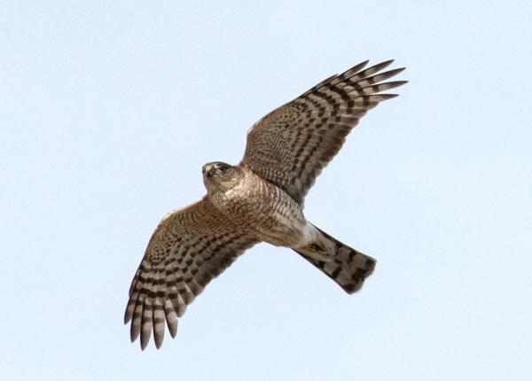 A Sharp-shinned Hawk flies overhead with its characteristic striped tail.