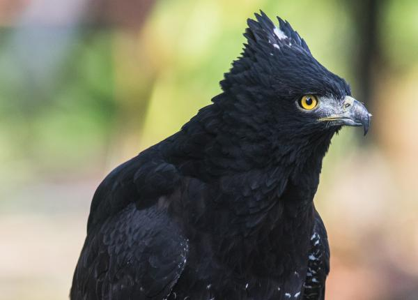Black Hawk-eagles have black bodies, a small crest of feathers on their heads, and piercing yellow eyes