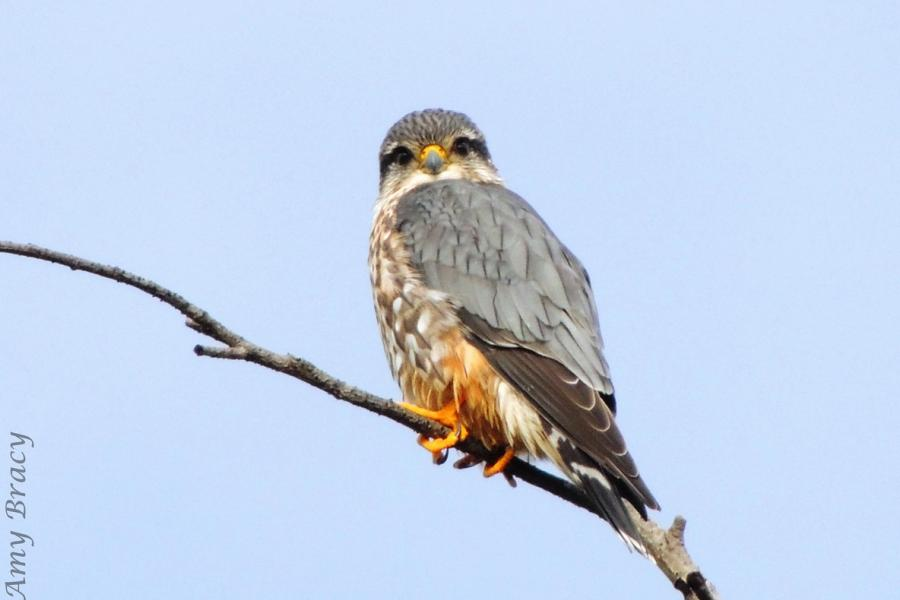 A Merlin perches on a branch