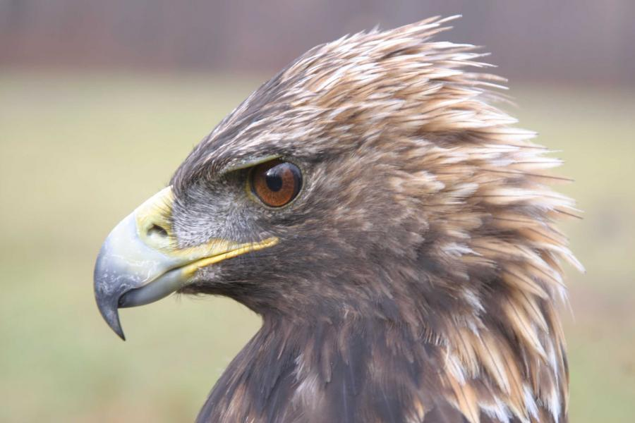 A close up of an Eastern Golden Eagle's head.