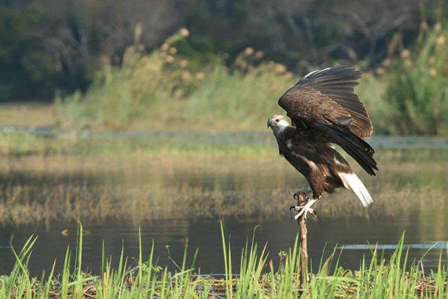 A Madagascar Fish-eagle perches at the edge of a lake