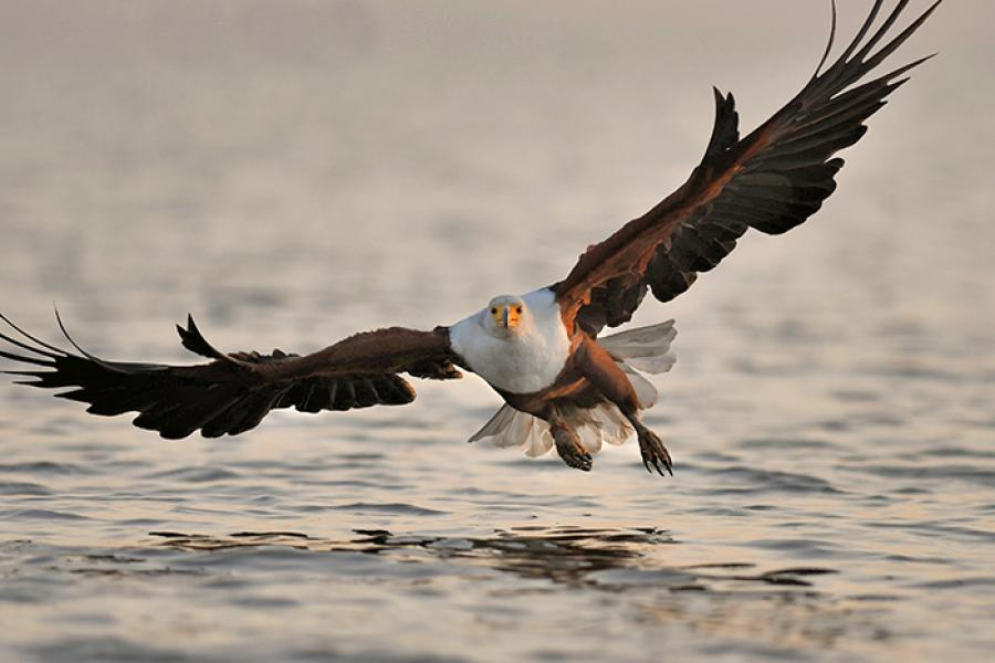 African Fish Eagle flies low over water