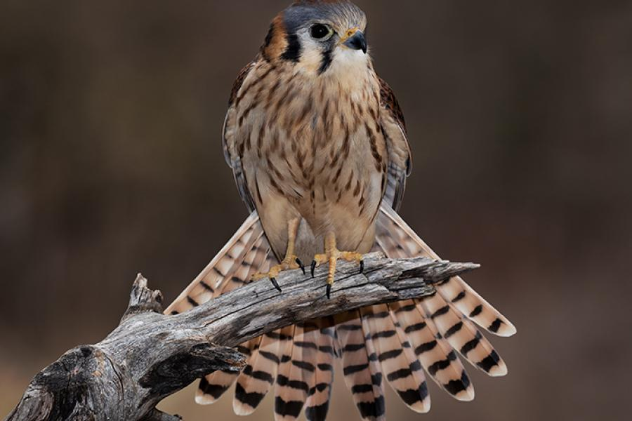 American Kestrel perched