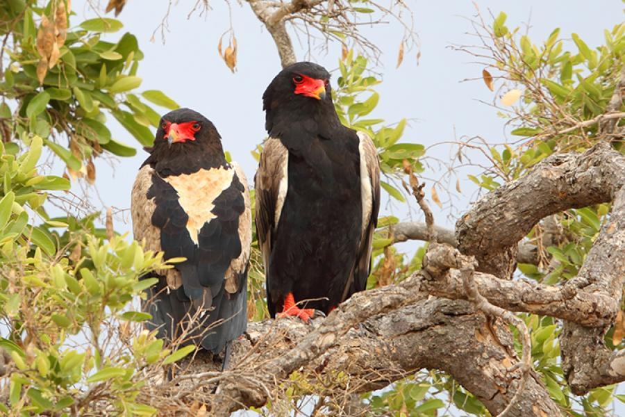 Bateleur Eagle pair perched
