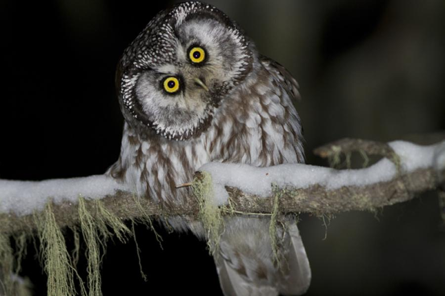 Boreal Owl perched on branch in snow