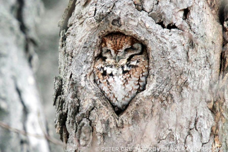 Eastern Screech-Owl perched in a tree cavity