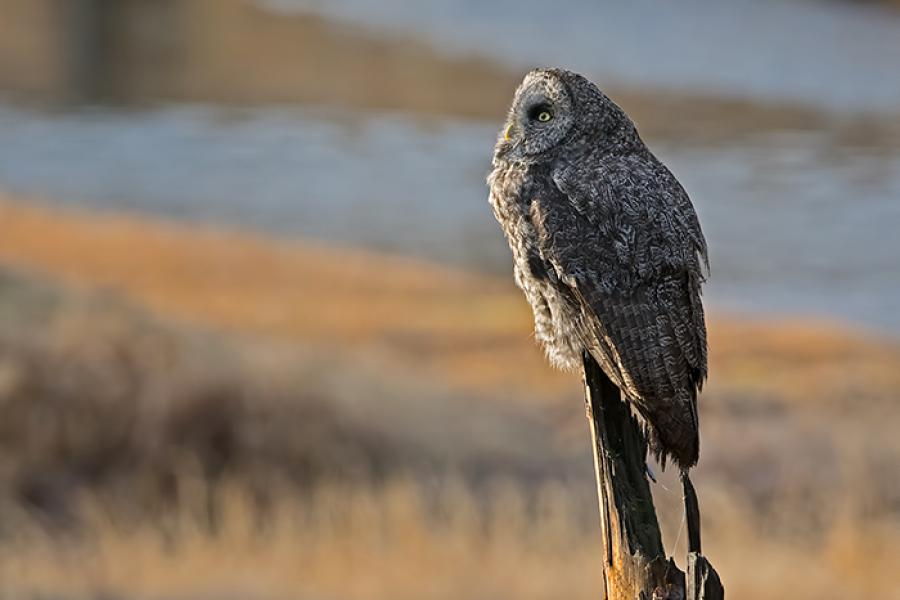 Great Gray Owl perched