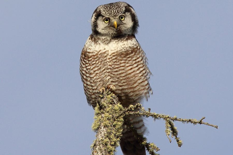 Northern Hawk-Owl perched on branch