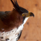 A side, head shot of the World Center for Birds of Prey's Ornate Hawk-eagle, Fancy. The side shot shows off her tall crest of three feathers, her brown head and back color and her white breast with black spots.