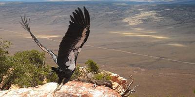 California Condor takes its first flight near Grand Canyon